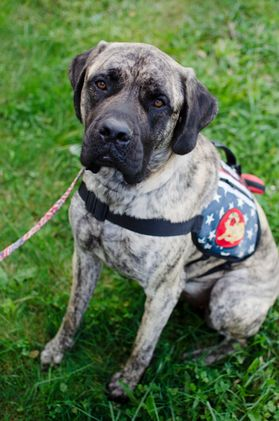 photo of brindle dog in service vest